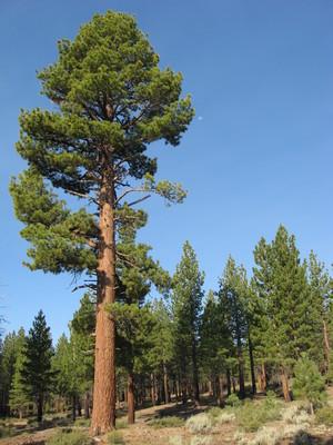 Slider waddle ranch 4 jeffrey pine