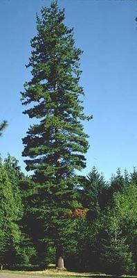 Slider sugar pine 9